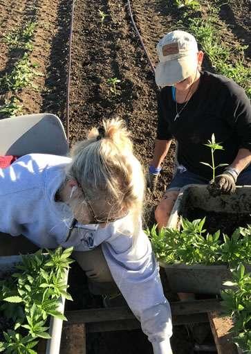 hemp planting