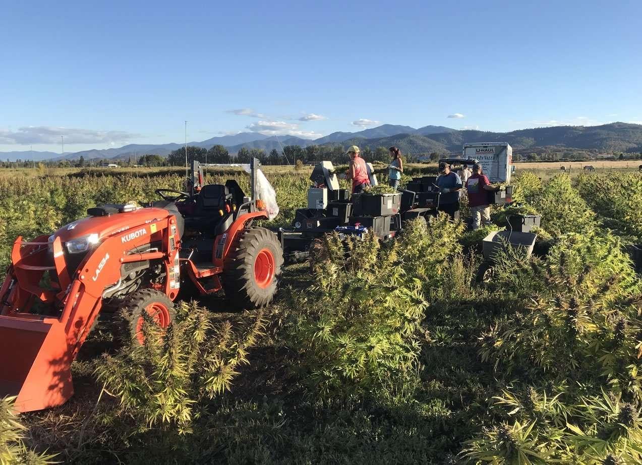 Bucking CBD hemp in the field