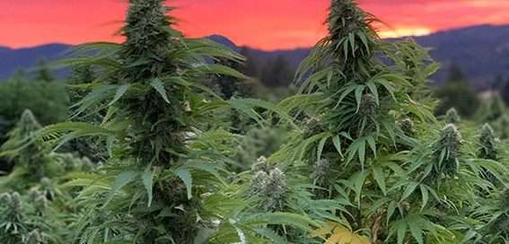 Hemp Plant with colorful sky
